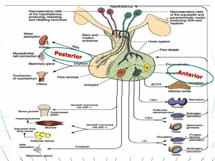 Anterior Pituitary Pictures Wallpapers