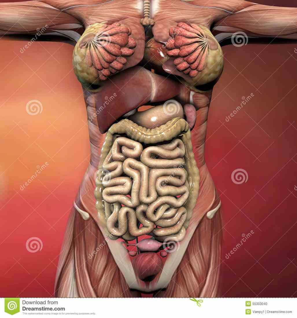 · next the abdomen commonly called belly is body space between thorax chest ir Female Human Body Structure Anatomy