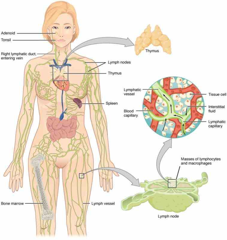 – interactive anatomy diagrams illustrate function of organs from fertilization to birth d Female Lymphatic System Anatomy Diagram anatomy