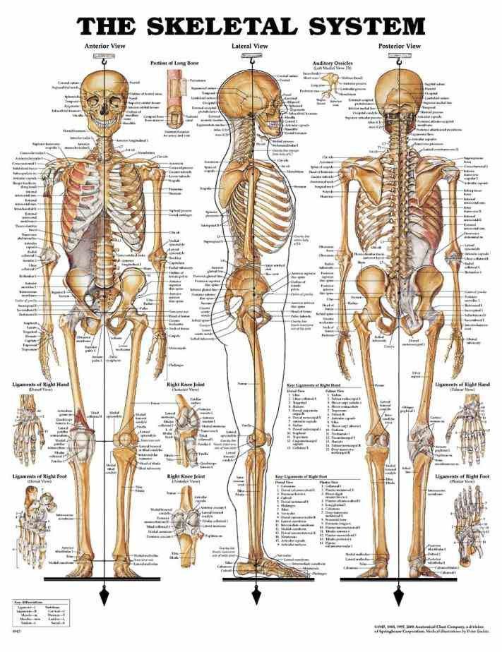 All The Bones In The Body skeleton of an adult human consists bones it is composed at birth individuals