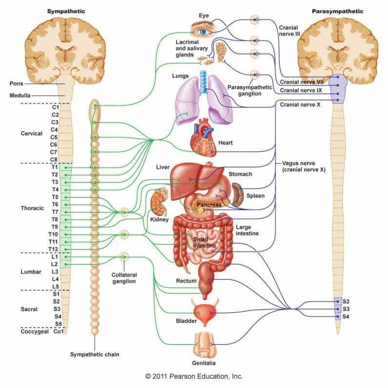 Anatomy Autonomic Nervous System jun overview of the anatomy physiology and pharmacology autonomic nervous system wehrwein ea orer hs