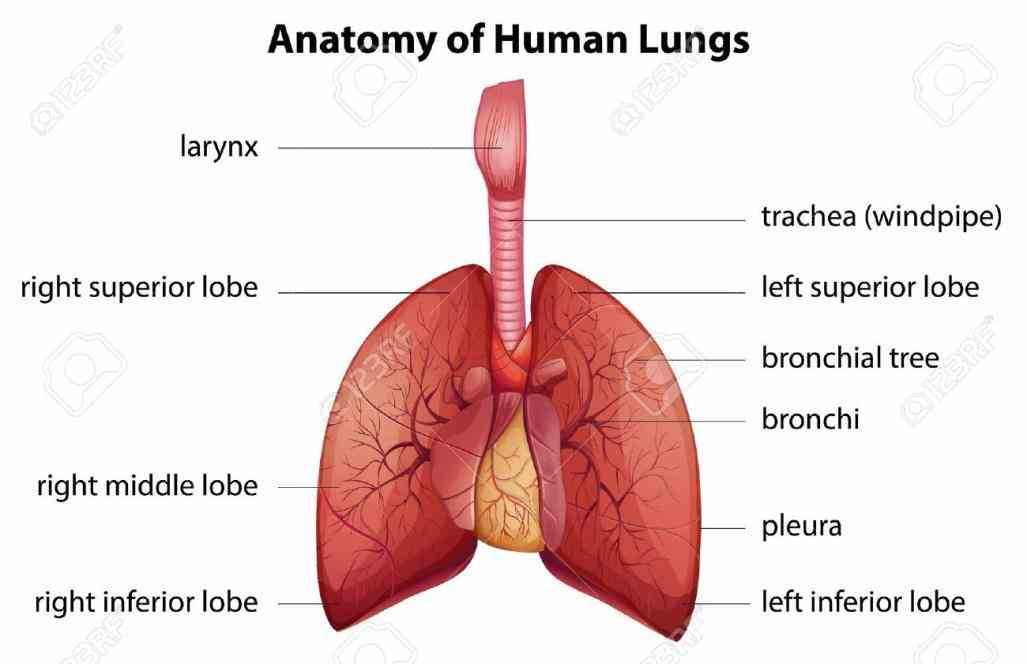 Anatomy Of Human Respiratory System para anatomy the respiratory system is a biological consisting of specific organs and structures