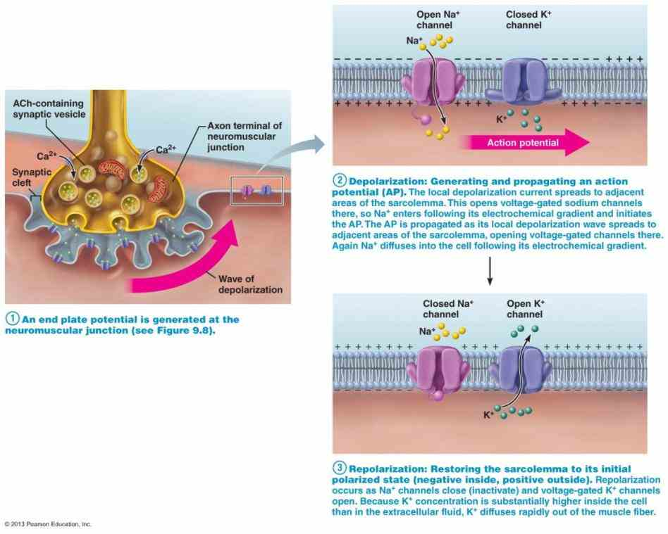 Anatomy Of Neuromuscular Junction junction can be defined as a synapse the motor neuron and muscle fiber actually occurs
