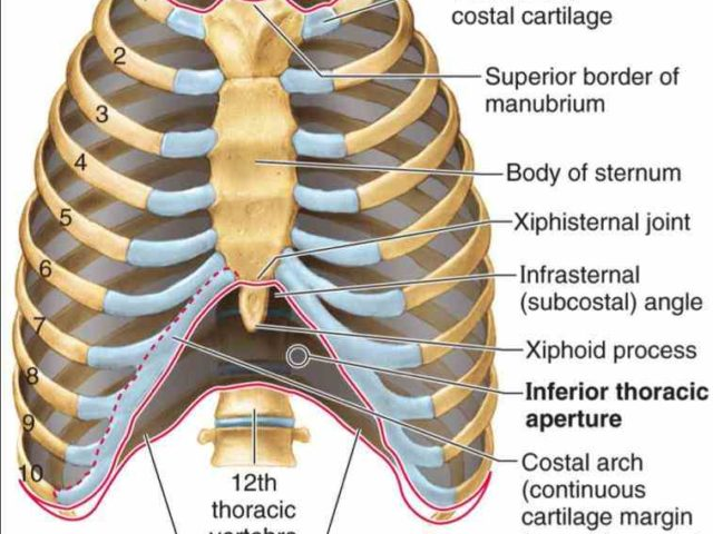 Anatomy Of Sternum And Ribs Anatomy Of Ribs And Sternum
