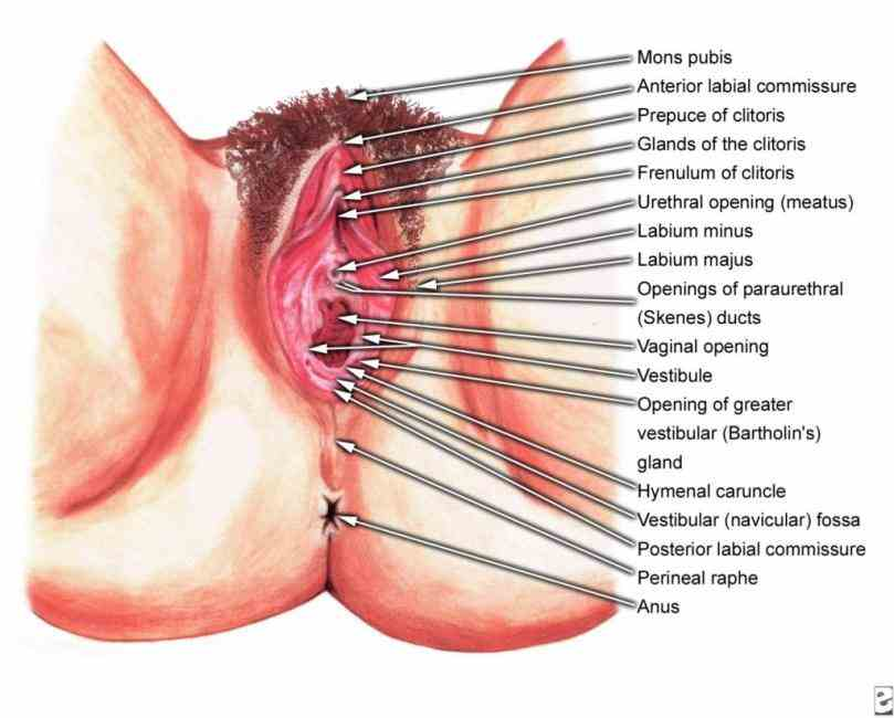 Anatomy Of The Female Genital Tract Pictures Wallpapers