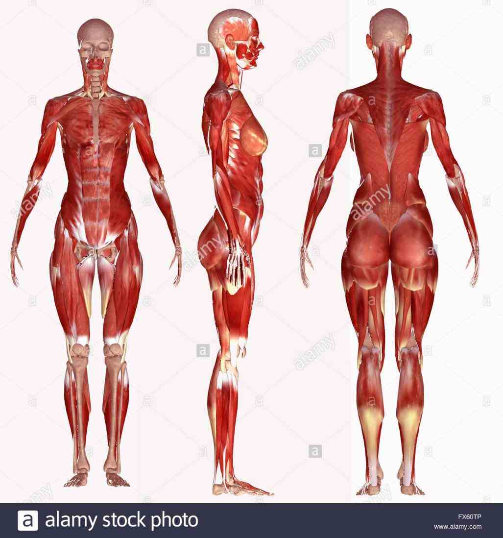Muscle Anatomy Of The Human Body Pictures Wallpapers