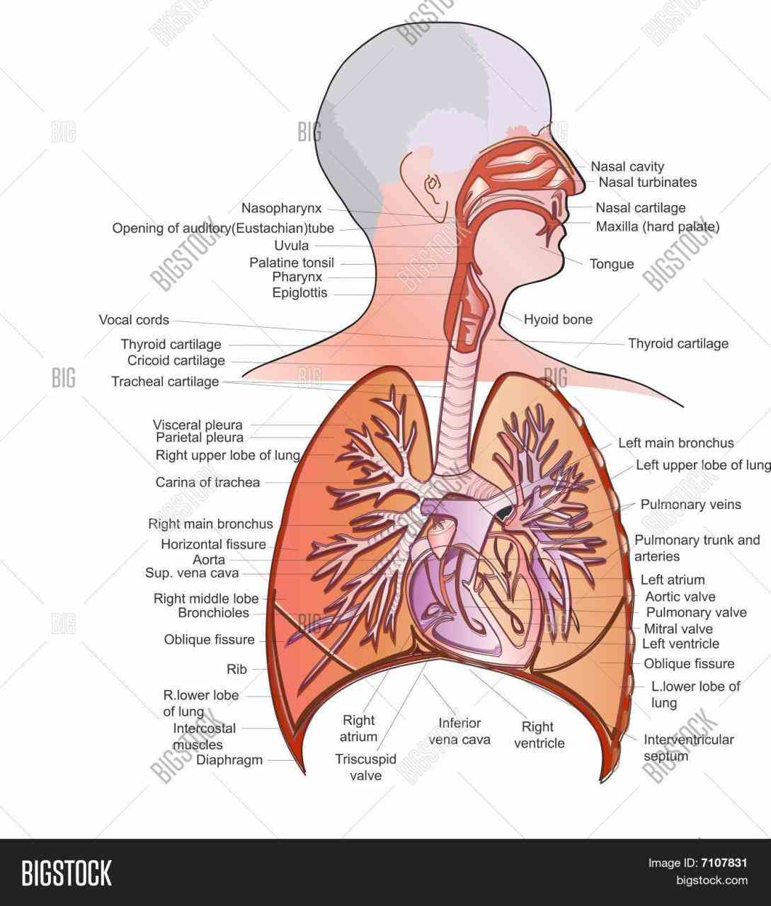 Anatomy Of The Pulmonary System Pictures Wallpapers