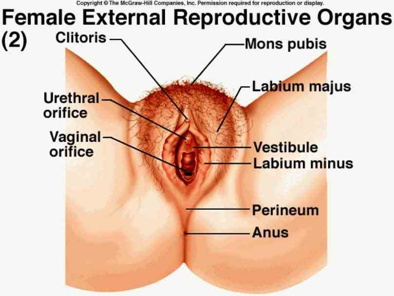 Anatomy Of Women Reproductive System Pictures Wallpapers