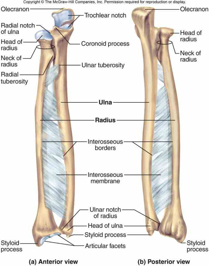 labeled ulna and radius | medicinebtg.com labeled diagram of the clavicle labeled diagram of the ulna