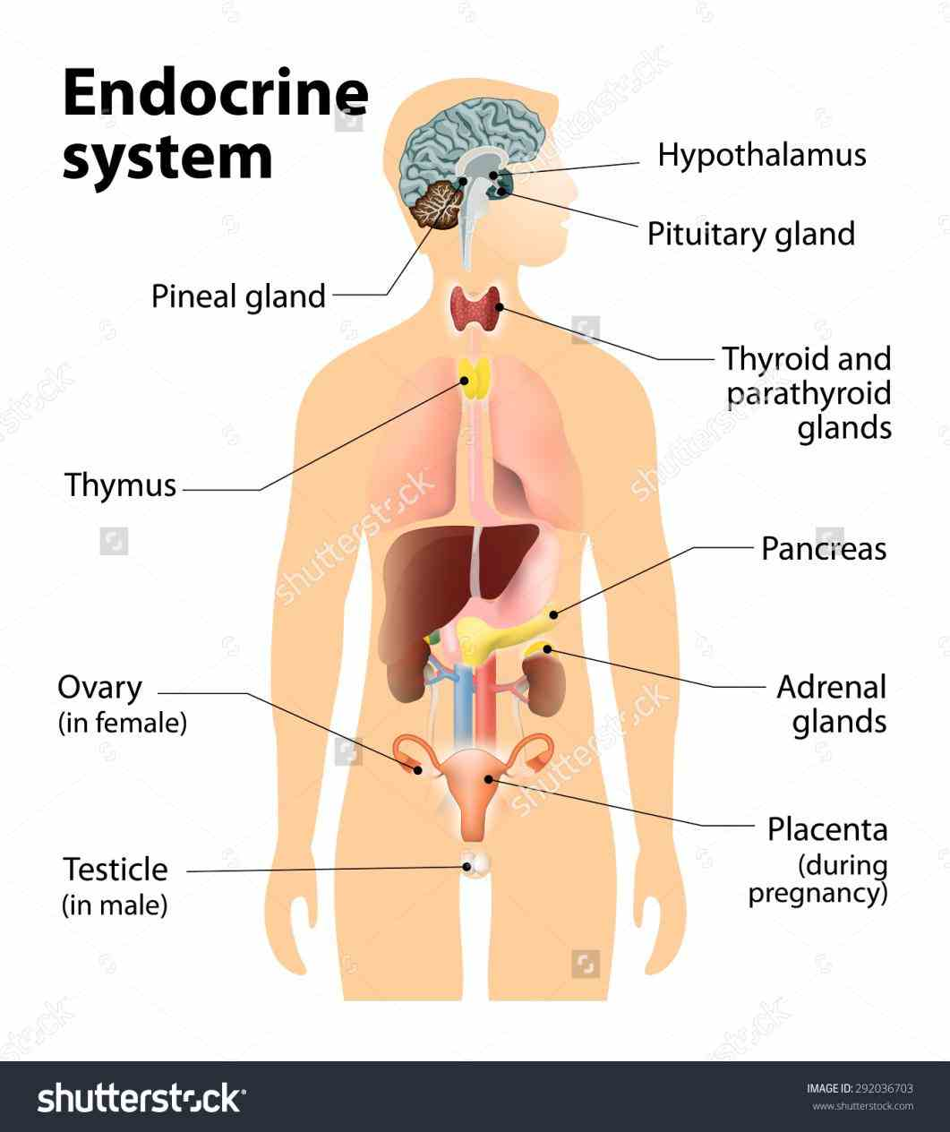 Endocrine System Organs And Their Functions Pictures Wallpapers