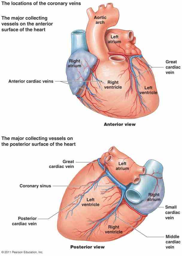 Arteries In The Heart Diagram Pictures Wallpapers