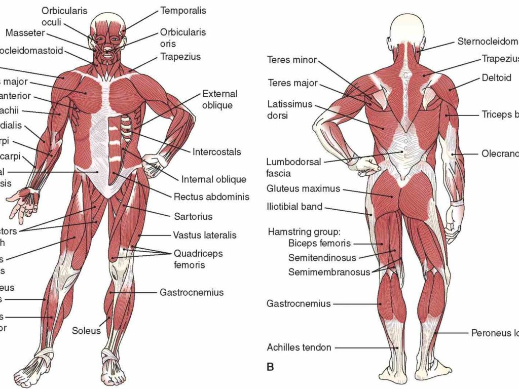 Anatomy bones and muscles