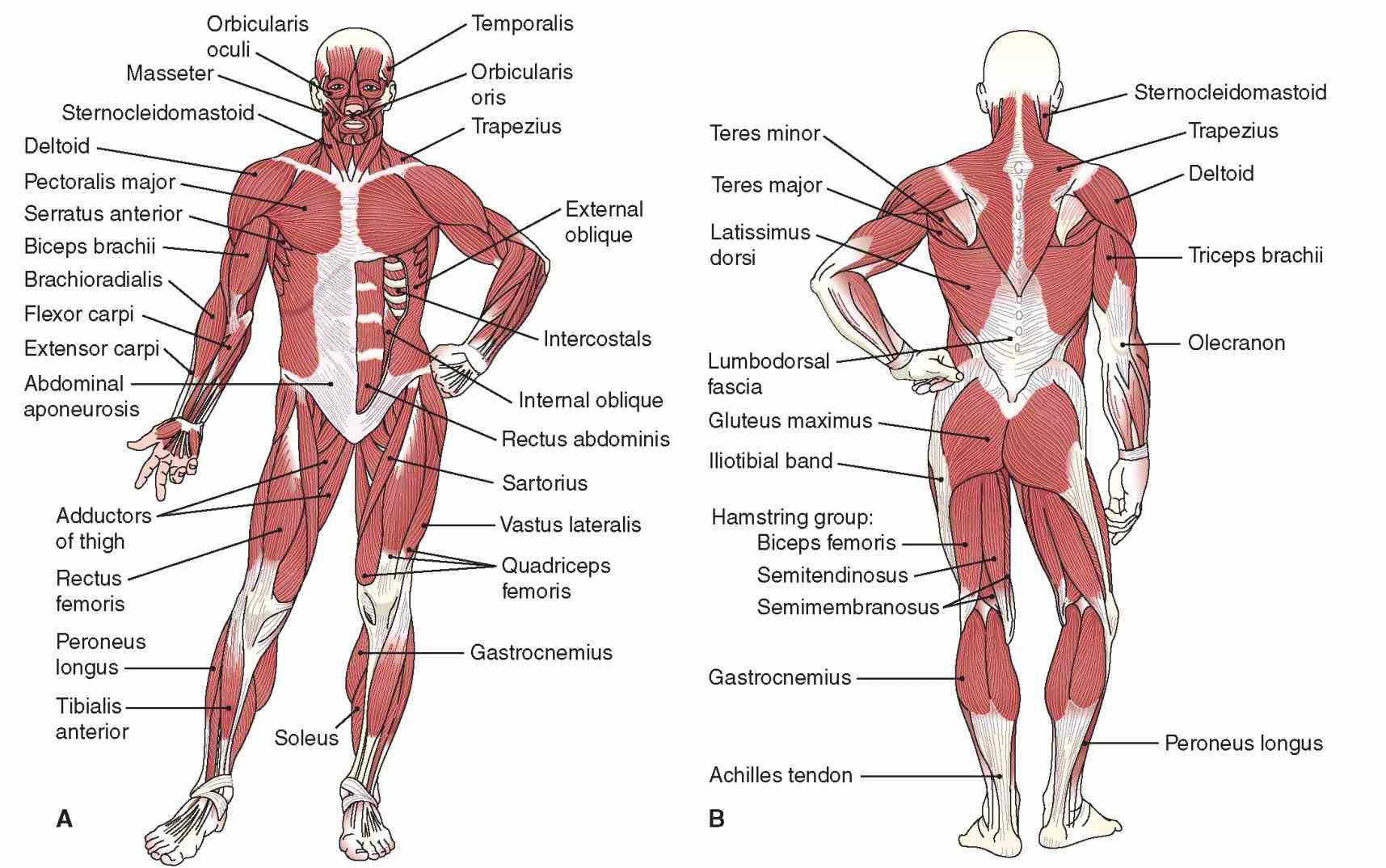 Labeled Body Muscle Diagram Pictures Wallpapers