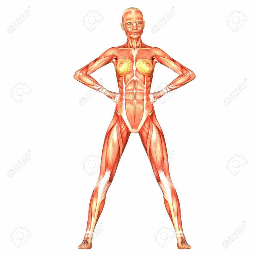 Female Human Body Structure Anatomy Pictures Wallpapers