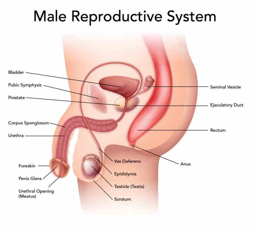 Female Reproductive System Of Human Body Pictures Wallpapers