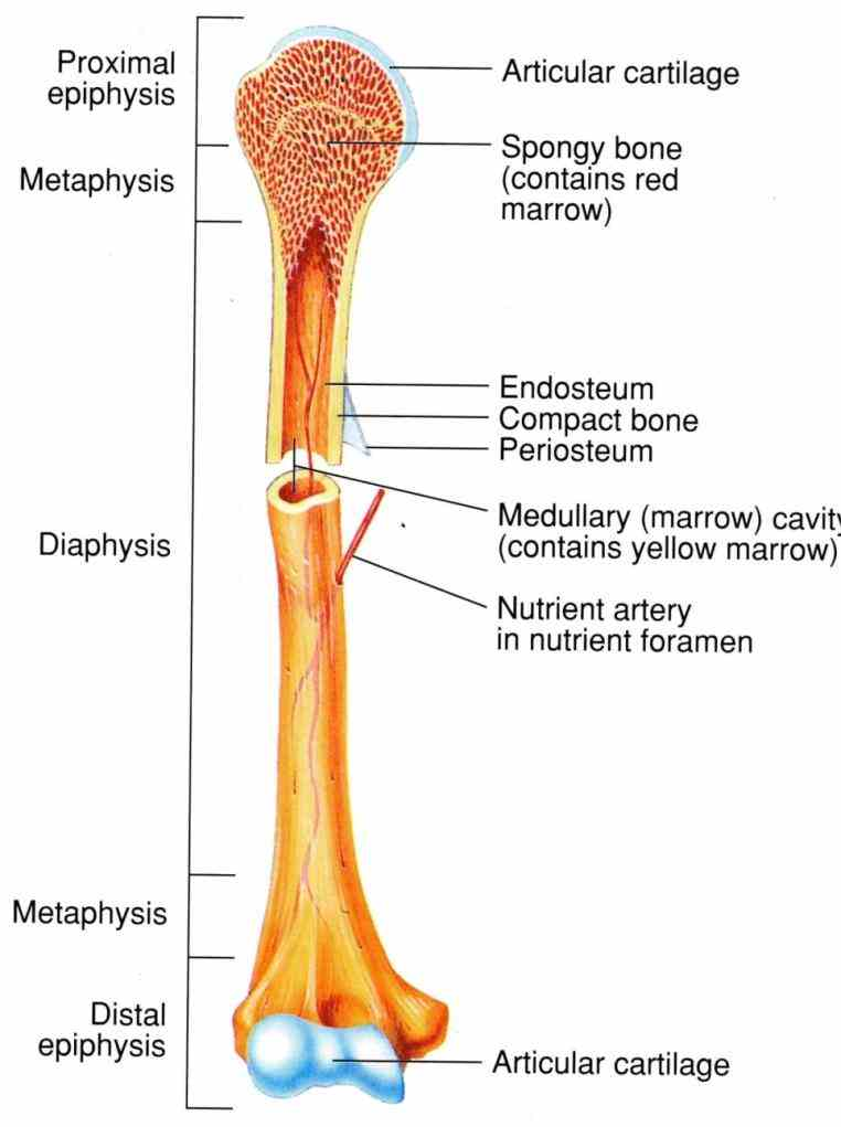 Bone studying gross anatomy of typical long bone learn vocabulary terms and more with flashcards games other study tools