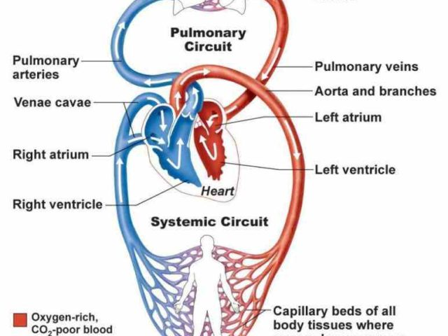 Heart anatomy blood flow diagram