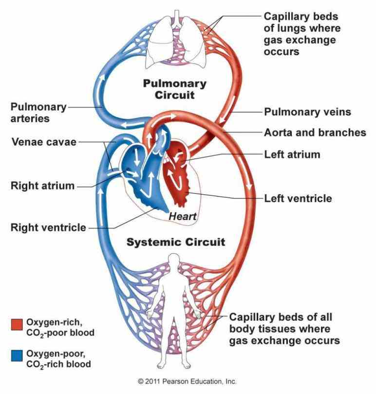 Heart Anatomy Blood Flow Diagram Pictures Wallpapers