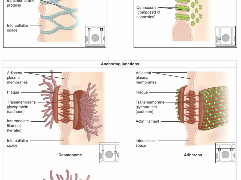 Contemporary Anatomy Of Epithelial Tissue Image Collection - Anatomy ...