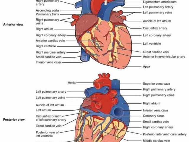 Heart Blood Vessels Of Human Anatomy Is Carried Through The Body Via Vessels An Artery A Vessel That Carries X