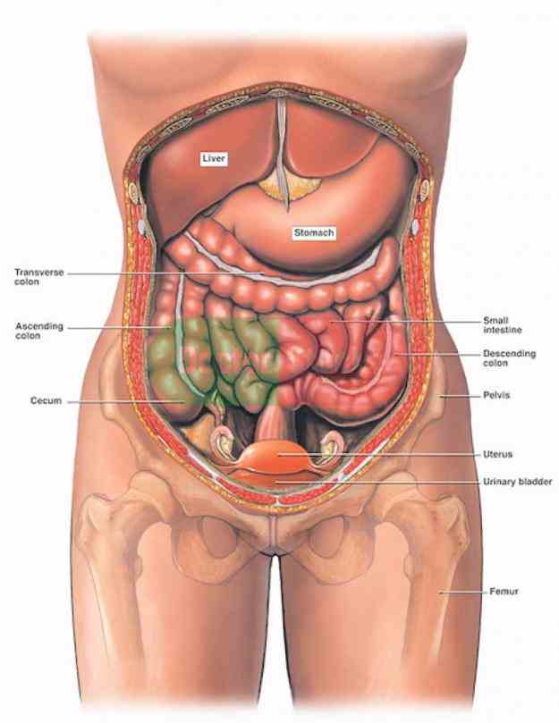 Female Human Anatomy Organs Pictures Wallpapers