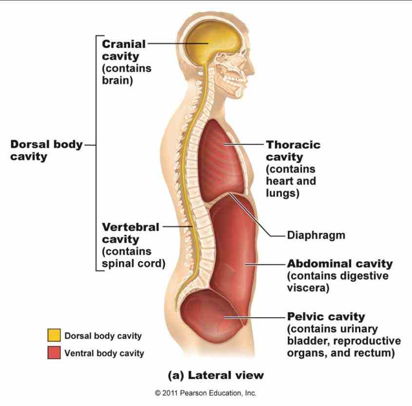 Dorsal And Ventral Human Body Cavities Pictures Wallpapers