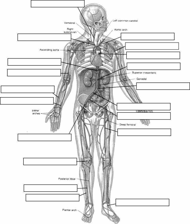 Human Body With Labels skeletal system – extensive anatomy images and detailed descriptions allow you to includes all of