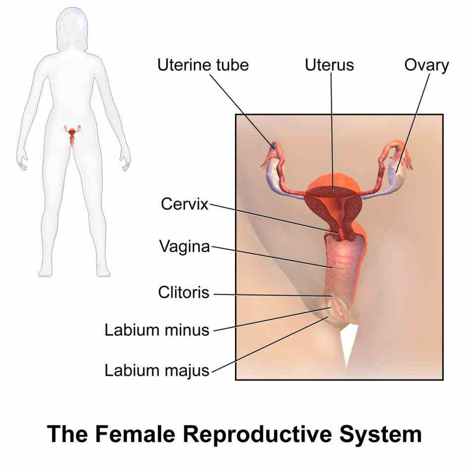 Human Body reproductive system is an important organic in females for reproduction process related Female Reproductive System Of Human