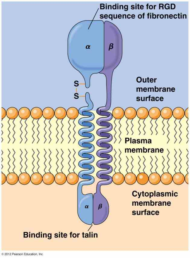 In Cell Membrane contain a variety of proteins some these are combined with carbohydrates to form glycoproteins describe the