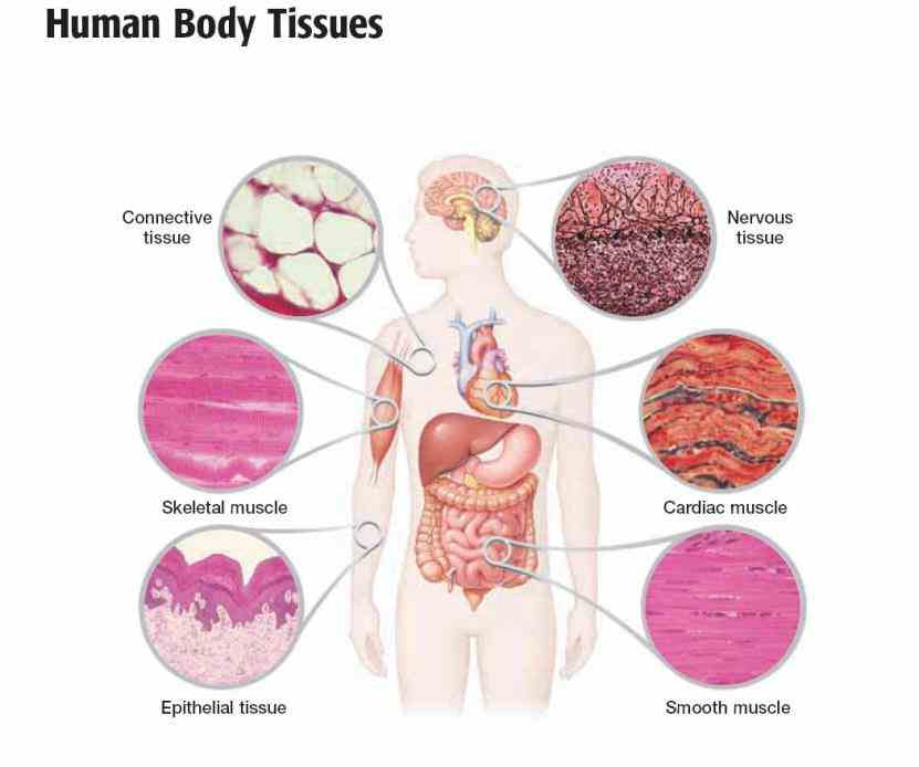 Types of tissues in the human body worksheet