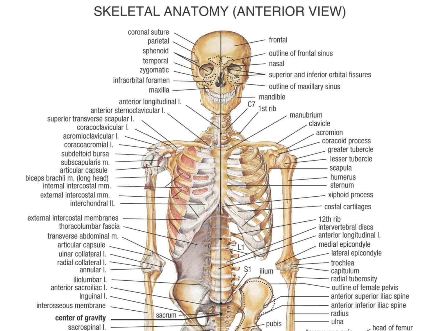 In The Body image to label and learn about the bones of skeleton protection other systems organs body provide