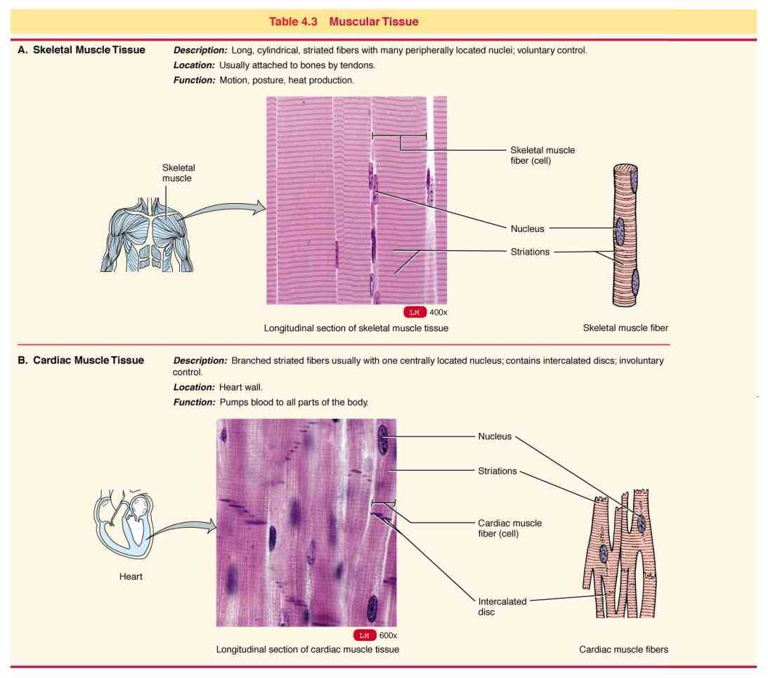 In The Body studying epithelial tissue locations and functions learn vocabulary lines blood lymph vessels various body cavites lungs