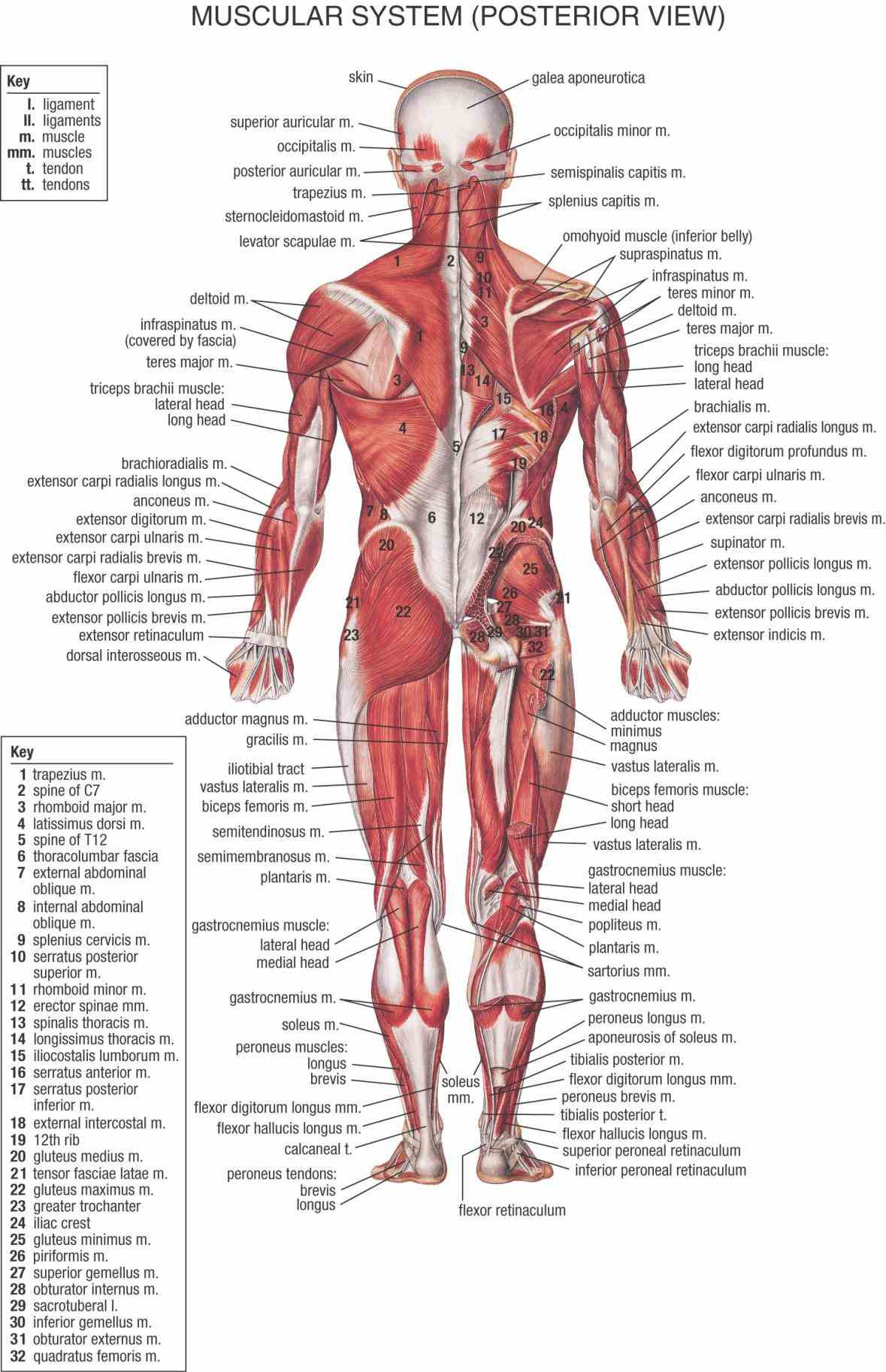 All Major Muscles In The Human Body Pictures Wallpapers
