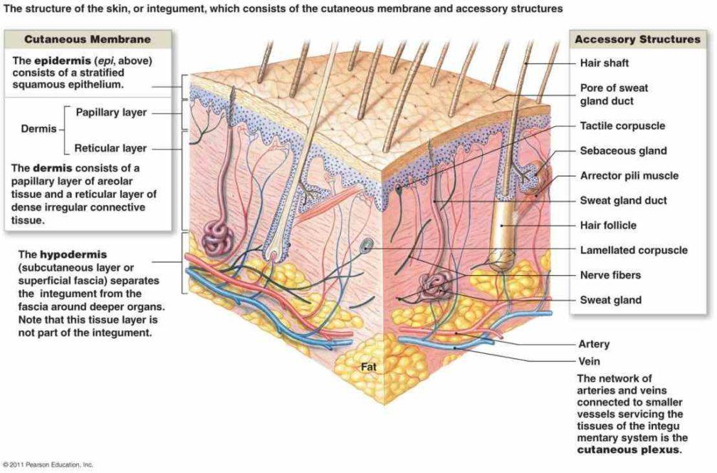 Ungewhnlich Human Skin Anatomy Zeitgenssisch Menschliche