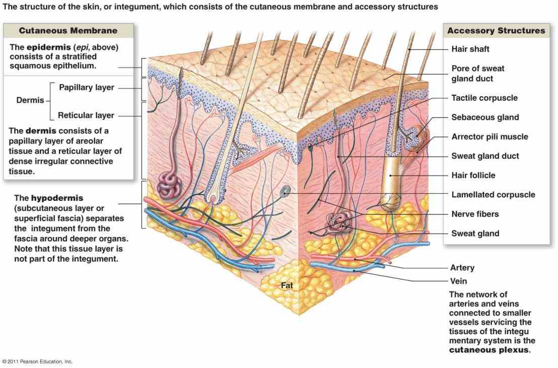 Integumentary System Labeled layout design for these subpages is at portalhuman bodyintegumentary systemselected picturelayout add a new selected picture