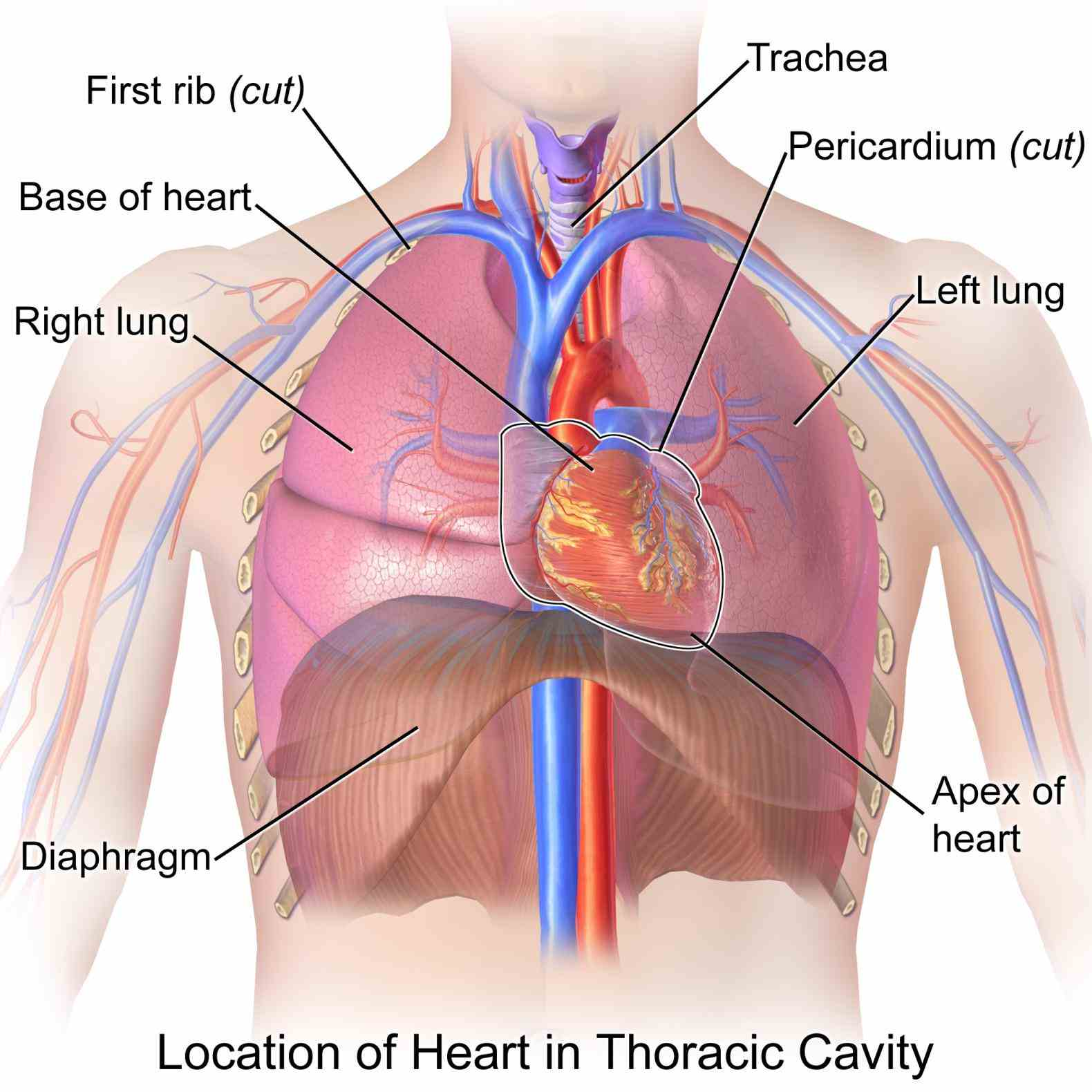 Heart Where Is It Located In The Chest Pictures Wallpapers
