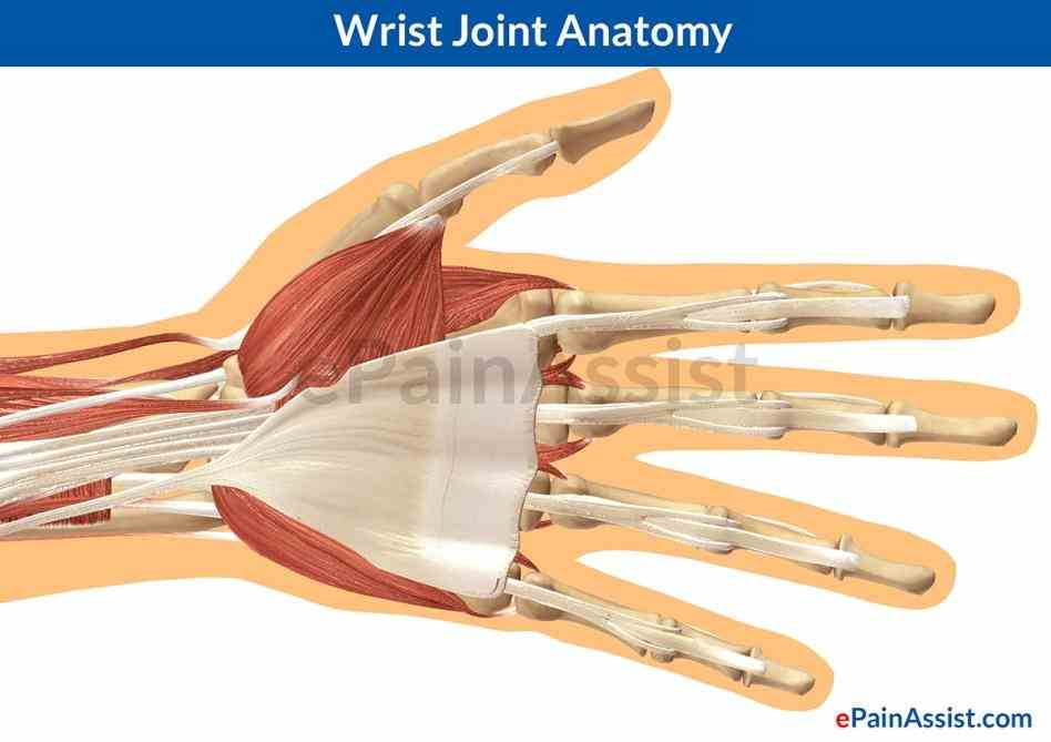Anatomy Of The Wrist Joint Pictures Wallpapers