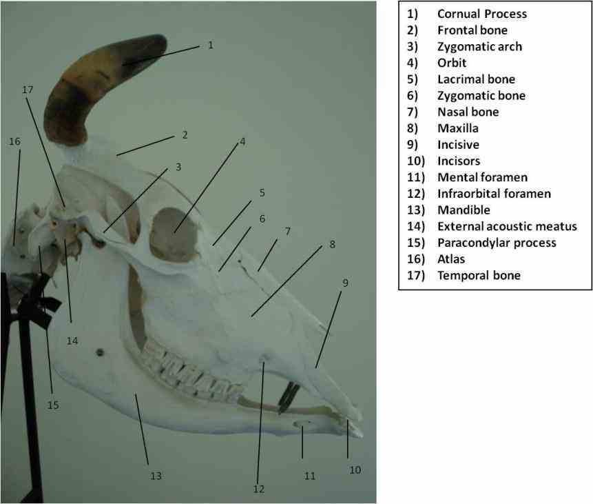 Labeled Respiratory System Of Cow