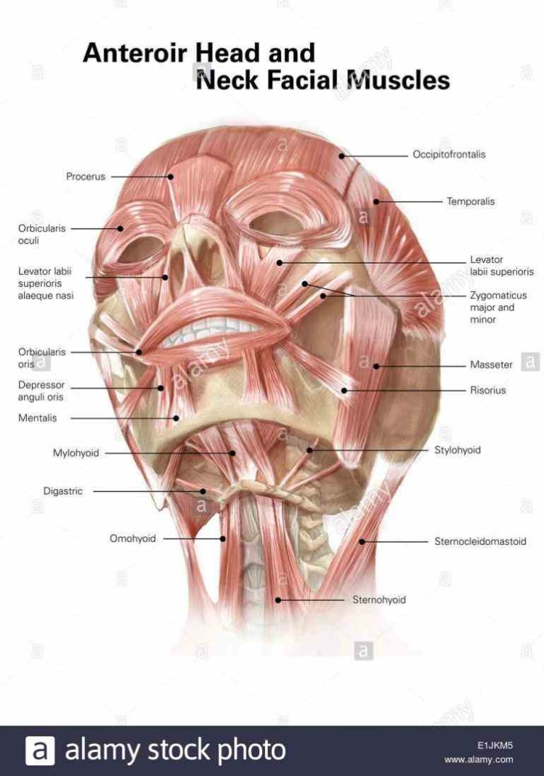 Labeling Facial Muscles Learn The Names Of Muscles Head