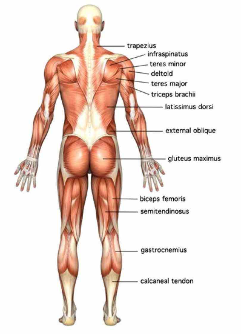 Labelled Muscular System Diagram muscular system is comprised of sum total muscles throughout body that move skeleton maintain posture
