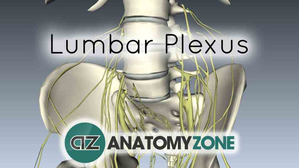 Anatomy Of Lumbar Plexus Pictures Wallpapers