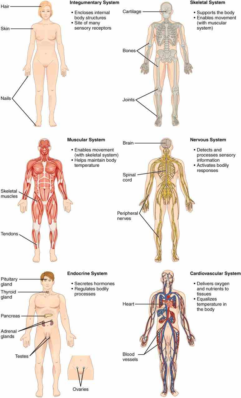 Major Systems Of Human Body Anatomy body is made up of ten different systems these are; skeletal system muscular