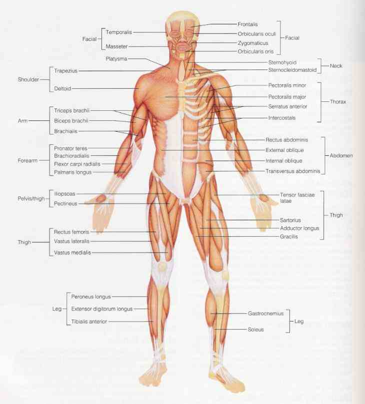 Muscled Skeleton following labelled diagram of human anterior muscles includes some all skeletal body cannot be seen from any