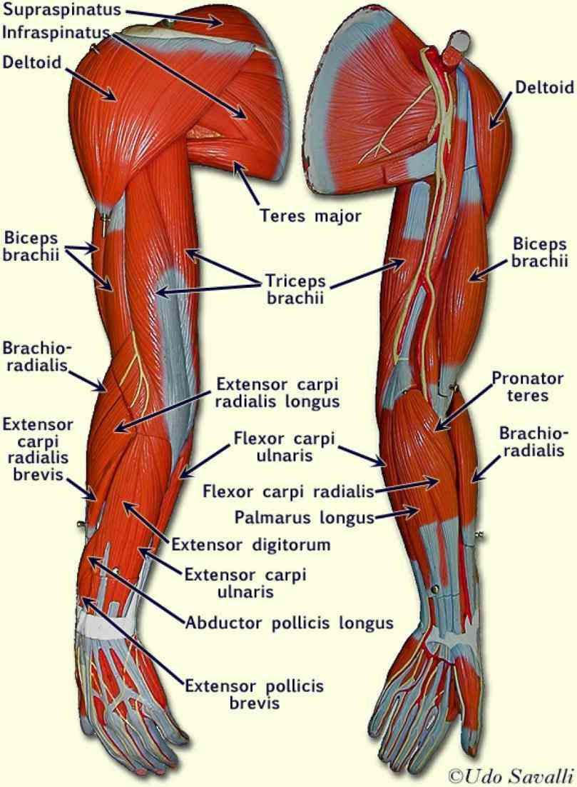 Muscles Image jun the anatomy of hand is complex intricate and fascinating see image below [ ] surface left