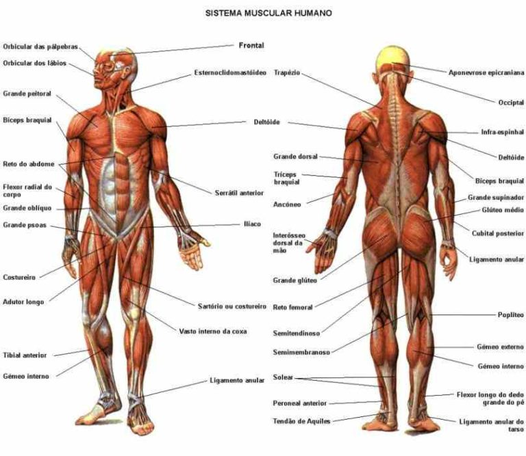 Muscles In The Human Body Mar Below Is The Basic Diagrams