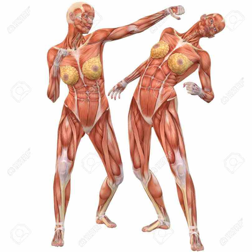 Muscles anatomy stock photo female human and muscles diagram of the body muscles Anatomy Of The Human Muscles and