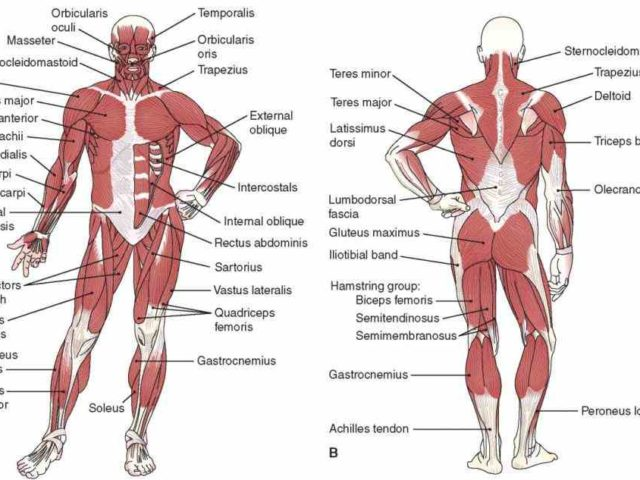 Nice Unlabeled Muscular System Crest - Anatomy And Physiology ...
