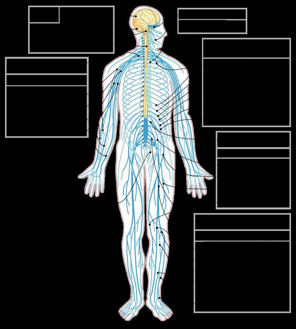 Nerves In The Human Body body video index · science videos main a nerve or neuron is specialized cell
