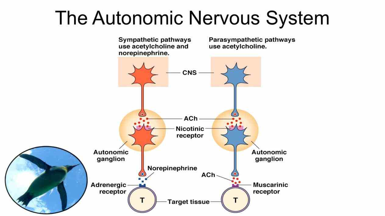 Nervous System neuroanatomy tutorial on the sympathetic nervous system in this short autonomic Anatomy Of Autonomic Nervous System nervous