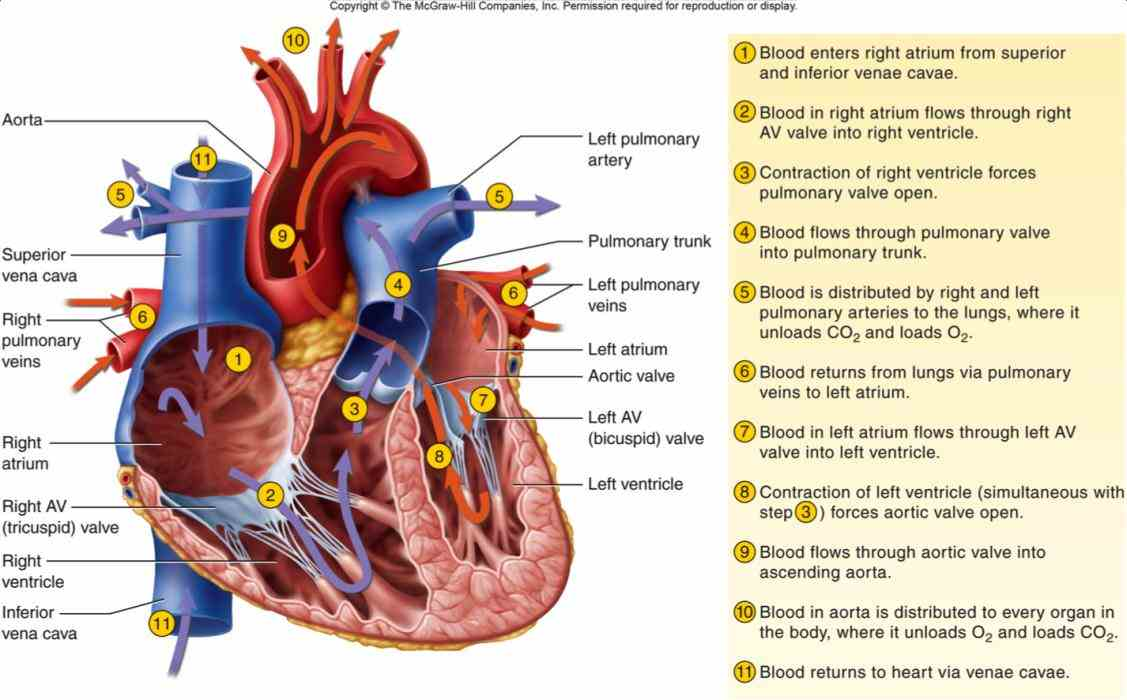 Of Blood Flow Through The Heart flow through the heart diagram and written steps these pictures were great during